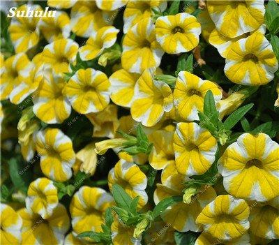 50 Pcs Pétunia Graines de fleurs pétunias Jardin Bonsai Balcon Petunia hybrida Flower Seed Plantes décoratives pour jardin 19