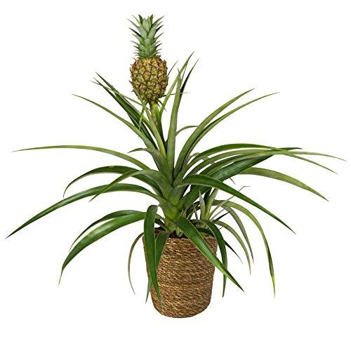 Pflanzen Kölle Zier-Ananas inkl. Korb Maki, Ananas comosus 'Amigo', Gesamthöhe ca. 45 cm