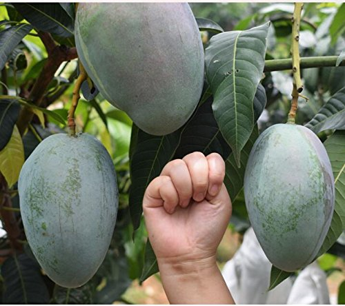 Jaune Mangue Gant Authentique Dlicieux Fruits bonsaï Jus De Jus Arbre bonsaï Doux Facile Cultiver Tropicale Fruitier bonsaïs Jardin
