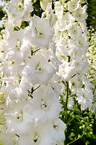 100PCs Graines Delphinium Ajacis ROUGE VIVACE fleur maison jardin plantation Bloom