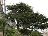 VISA STORE Monterey, Cupressus macrocarpa, 100 semillas...