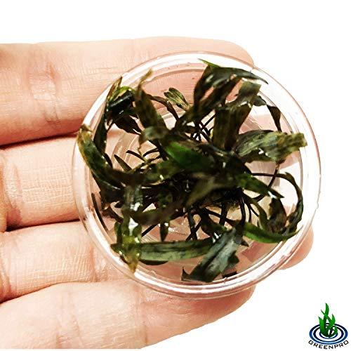 Greenpro Cryptocoryne Nurii Nano Mini Tissue Culture Freshwater Live Aquarium Plants Decoration