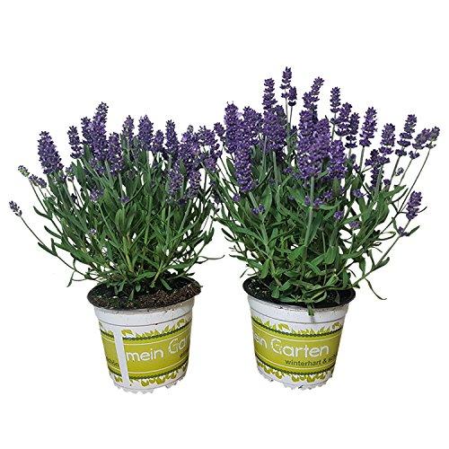 2 Lavendelpflanzen (Lavandula angustifolia) winterhart | duftende Pflanze | robuste Kräuerpflanze | beste Gärtnerqualität | Zierpflanze | Lippenblütler | Echter Lavendel | Lavendel mehrjährig