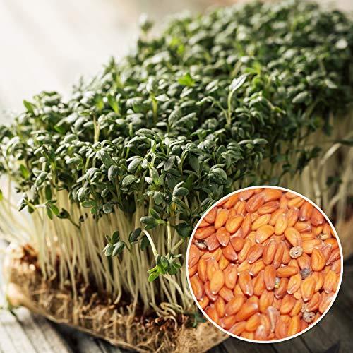 13,49€ (26,98€ pro 1kg) 500g Bio Kresse Samen Keimsaat Gartenkressen / Kräuterkresse aus Deutschland   0.5 kg   naturbelassen   Premium   kompostierbare Verpackung   STAYUNG - DE-ÖKO-070