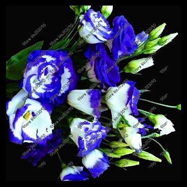 200pcs / pack lila Lisianthus Samen Seltene eustoma Samen Blumensamen Bonsai Samen für Heim & Garten