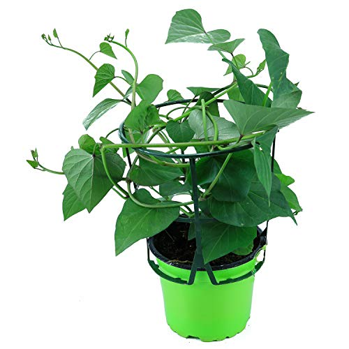 Süßkartoffel Pflanze Ipomea batata, Gemüse Pflanze, Aus Nachhaltigem Anbau!