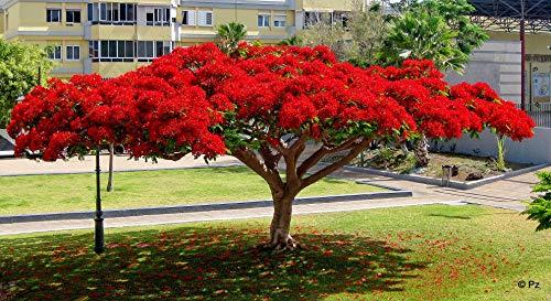 Flammenbaum, SELTENE rote PRACHTBLÜTE, exotische Pflanze, 5 Samen, SUPER !!