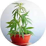 Nutzhanf / Cannabis Sativa Samen / Angelhanf / Futtermittel / 50 Samen / ohne THC
