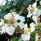 TOYHEART 15 Stück Premium Blumensamen, Delonix Decaryi Baumsamen Seltene Immergrüne Gute Ernte...