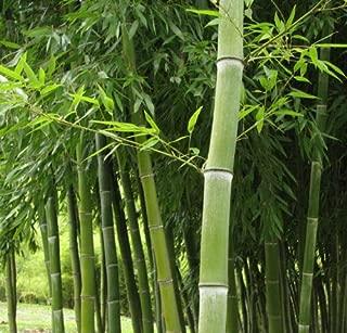1,000+ Phyllostachys dulcis Seeds Sweet Shoot Timber Bamboo Edible