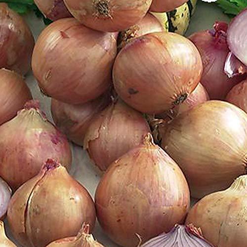 Zwiebeln Rosé de Roscoff 40 Samen