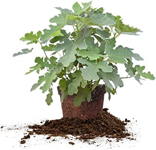 Perfect Plants Black Mission Fig Tree Live Plant, 3 Gallon, Includes Care Guide