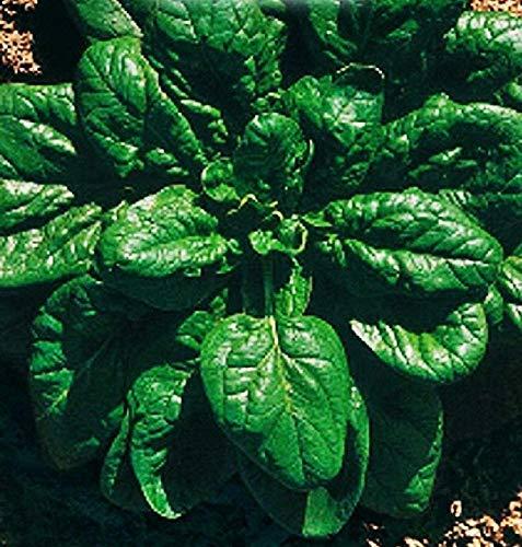 640 C.CA Semillas espinacio Matador – espinácea Oleracea en embalaje original fabricado en Italia – Spinaces.