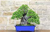 Árbol bonsai Wild Cherry Yamadori (1)
