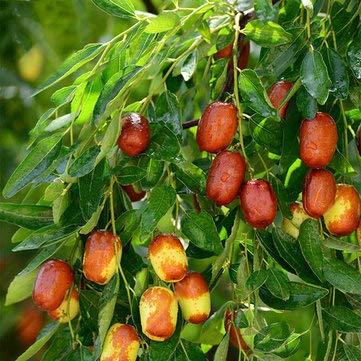 Bshopy 10 stücke jujube samen echte exotische obst jujube samen bonsai natürliche gesunde leckere organische schöne einfach wachsen mehrjährige pflanze