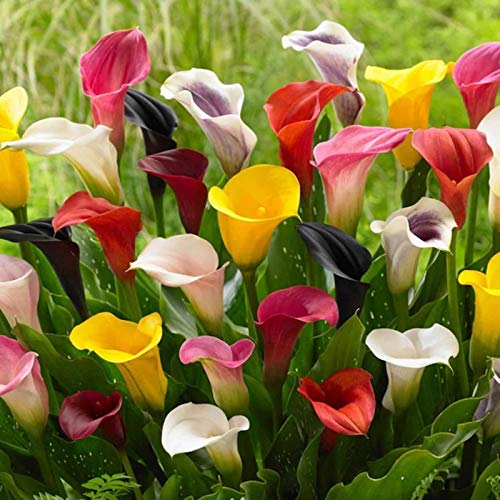 5 Pack Calla Lily Mixed Bulbs Plant Fresh Garden Seeds Heirloom Gardeners Choice!