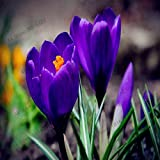 100pcs / bolsa de semillas de azafrán Azafrán de semillas plantas en macetas semillas de flores de clima templado para artículos de jardinería crecen fácil 5