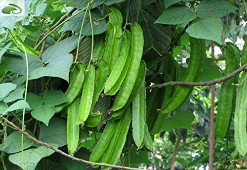 Bloom Green Co. 20 Rare Psophocarpus tetragonolobus Bonsai Frische asiatische Goabohne Pflanze Hohe Keimung Leicht wachsende Gemüse