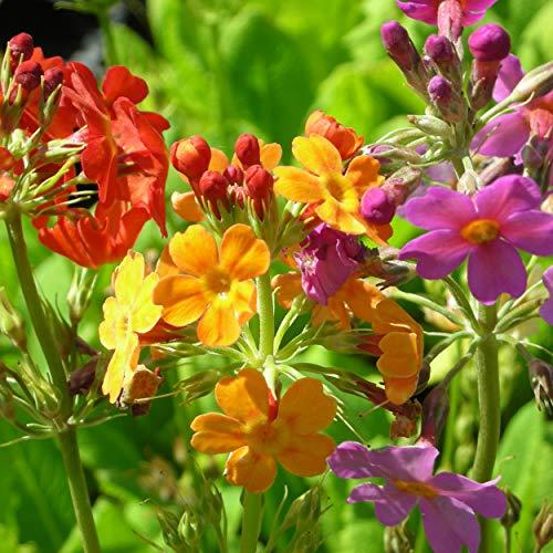 Blumixx Stauden Primula Bullesiana-Hybriden-Terrakotta - Etagen-Primel pastell