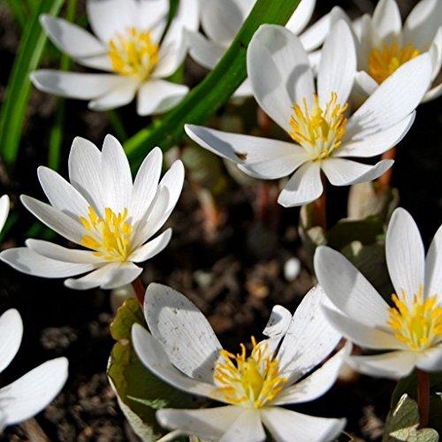 Bloodroot种子(Sanguinaria canadensis)25种种子包