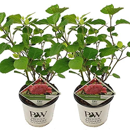 Hortensie | Hydrangea 'Pink Annabelle' pro 2 Stück - Freilandpflanze im Anzuchttopf ⌀19 cm - ↕30-35 cm