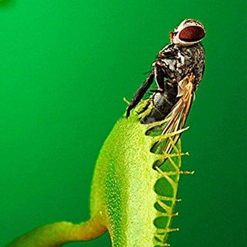 Keptei Samenhaus- 50 Korn Selten mehrfarbige Venusfliegenfalle Samen Dionaea muscipula Fleischfressenden Pflanzen Flytrap Seeds, Sehr Riesen