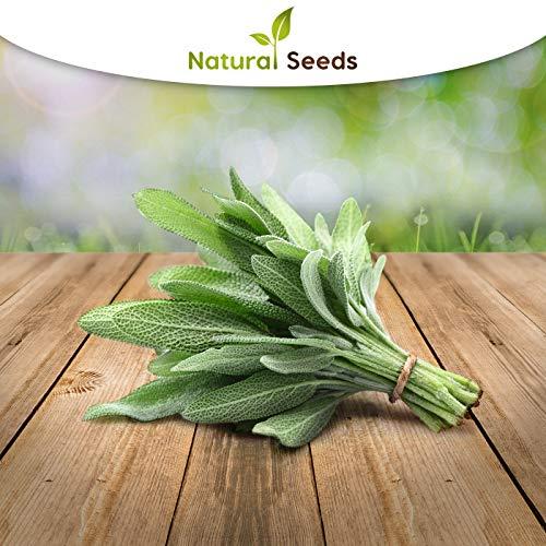 250 x Samen Salbei mehrjährig 100% Natursamen aus Portugal handgepflückt… (Salbei)