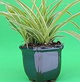 Jm Bamboo Plants For Pots
