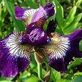 200 semillas/bolsa raras semillas de flores de iris, bonsái, orquídeas, macetas, adornos de jardín, plantas, colores surtidos, fácil de cultivar 11