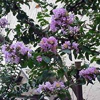 サルスベリ[百日紅]:薄紫3号ポット