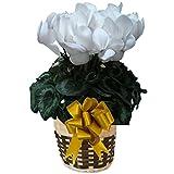 パステル ピュアホワイト さかもと園芸 達人 シクラメン 花鉢 鉢花 ギフト プレゼント 贈答品 クリスマス お歳暮