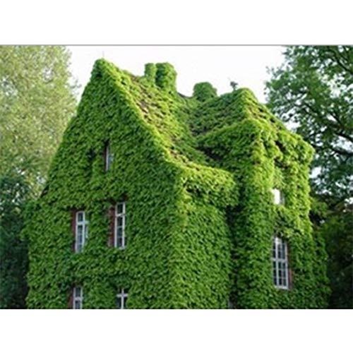 Cultiver 40 pcs/sac Lierre Graines Creeper Graines Vert Anti-rayonnements plantes branches ultraviolettes bonsaï plantes grimpantes pour la maison et le jardin des plants Tiger