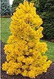 50pcs / bag japonesa raras semillas amarillas del árbol de pino de Bonsai Pinus Thunbergii Semillas Jardín de Invierno de Navidad de Kawaii Plantas rojas de envío gratuito
