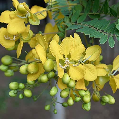 Outsidepride Partridge Pea - 1000 Seeds