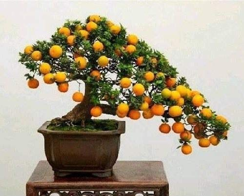 Orange Samen Schöne Miniatur-Kumquat Obst Bonsai-Baum-Garten