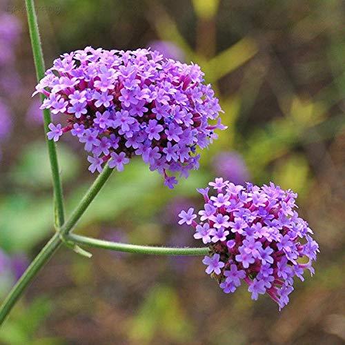 ScoutSeed 9A52 100 stücke Eisenkraut Eisenkraut Samen Mehrjährige Samen Blume Blumen Pflanze Outdoor Liv