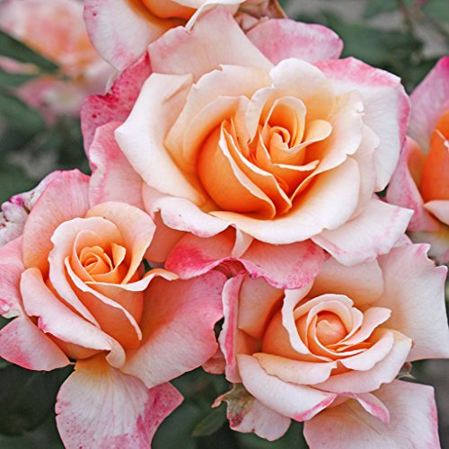 Kordes Rosen Oh Happy Day Edelrose, creme aprikot, 12 x 12 x 40 cm