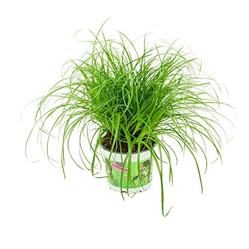 ZynesFlora   Cyperus Alternifolus – Katzengras - Ø 12 cm - ↕ Höhe: 25-30 cm – Zimmerpflanze