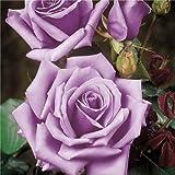 Blue Moon climbing rose–radice nuda rose–regalo–rosa