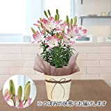 日比谷花壇 母の日 花 プレゼント 花鉢 スカシユリ「シュガーラブ」 ギフト 鉢植え