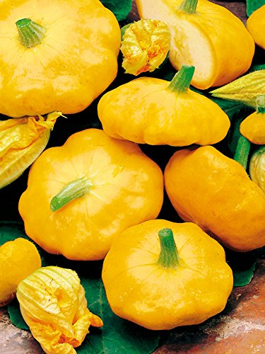 Heirloom Heritage COURGETTE Early Yellow Summer Squash 10 Organic Seeds Certified French Organic Grower Sunburst Patty PAN PATISSON UFO