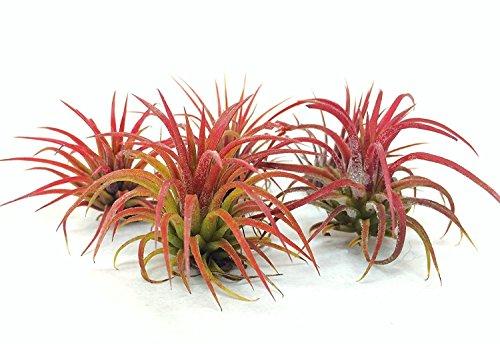 Small Tillandsia Air Plants, Ionantha Fuego Plants (Set of 5)