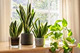 Live Snake Plant, Sansevieria trifasciata Superba, Fully Rooted Indoor House Plant in Pot, Mother in Law Tongue Sansevieria Plant, Potted Succulent Plant, Houseplant in Potting Soil by Plants for Pets