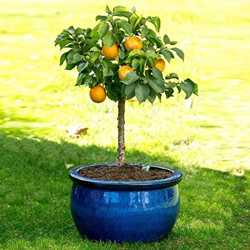 Qulista Samenhaus - Rarität Zwerg-Aprikose Aprigold® Ertragreich duftend | Obstsamen 20pcs Obstbaum Baum Saatgut winterhart mehrjährig, Ideal für Balkon- sowie Terrassengärtner