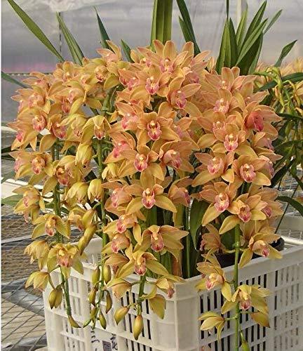 RETS GRAINES: 150 pcs 5 Types Cymbidium Plantes bonsaïs Jardin bonsaïs orchidée Rare semente decoratives