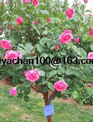 Rose bonsaï arbre bonsaï multiples couleurs courtyard 100 graines de fleurs