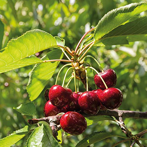 Thompson & Morgan Potted Mini Fruit Tree Cherry, Ideal for Small Gardens & Patios, High Yielding, Producing Tasty Edible Fruit in Summer, 1 x Prunus (Cherry) Sylvia Plant in a 9cm Pot