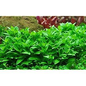 Tropica Aquarium Pflanze Staurogyne repens