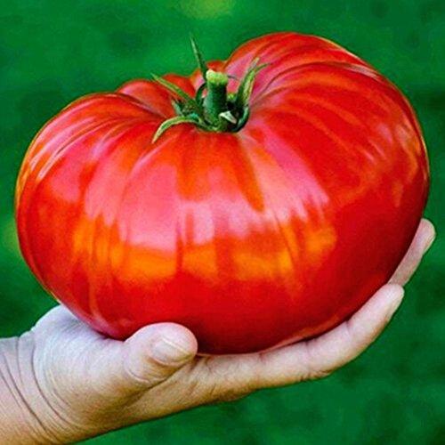 Kisshes Giardino - Semi giganti giapponesi di pomodoro, pomodoro biologico a base di carne 1-3 sterline per pomodoro vegetale frutto semi redditizi perenne Hardy per giardino balcone/patio