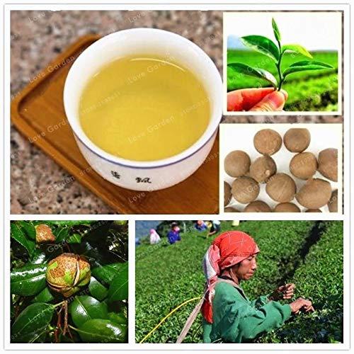 ScoutSeed 200 semillas: Semillas Raras Camellia Sinensis Semillas de Té Verde Plantas Bonsai Fragantes Frescas Raras